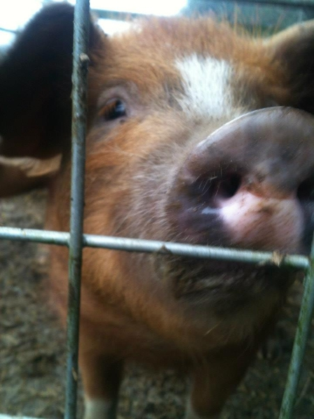 One of the Piglets